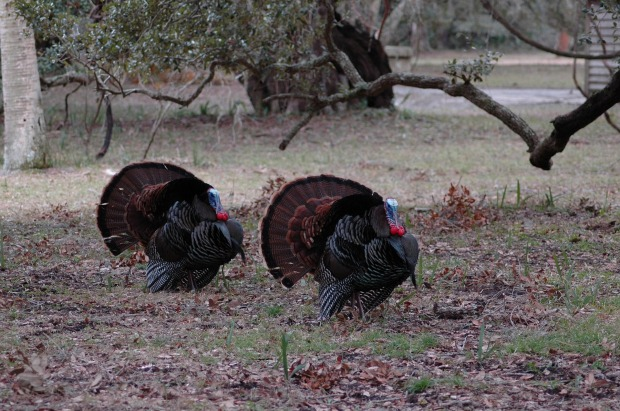 wild-turkeys-2080364_1920 (1)